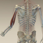 arm or hand pain, triceps, triceps diagram, medial epichondilitis, stretching triceps, immediate triceps pain relief, online osteopathy, online osteopath, osteopath, stretch for life, online stretching, immediate pain relief,